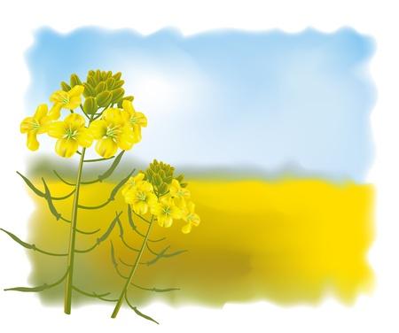 Mosterd bloemen met veld. Vectorillustratie.
