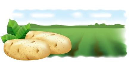 Patatas y campo de patatas. Ilustración vectorial. Vista panorámica.