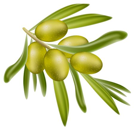 A branch of green olives. Vector illustration on white background.