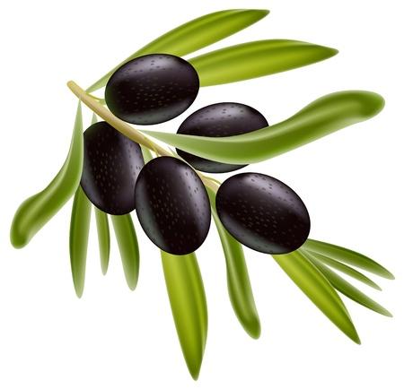 black olive: A branch of black olives.  Illustration