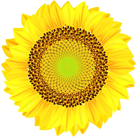 oil crops: Sunflowers on a white background.