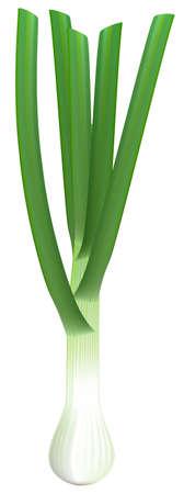 bulb and stem vegetables: Fresh green onions on white background. Vector illustration.
