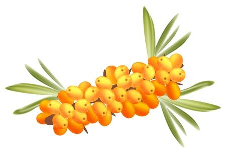 The branch of sea-buckthorn berries. Stock Vector - 9467298