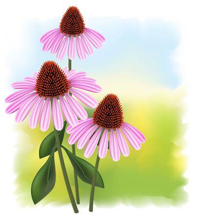 echinacea purpurea: Echinacea (purpurea) su uno sfondo fullcolor.