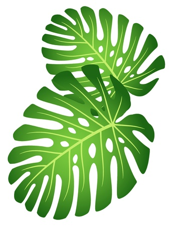 monstera: Leaves of tropical plant - Monstera. Illustration