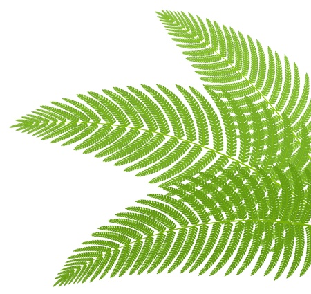 medicinal leaf: The green leaves of a fern. Vector illustration.