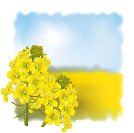 Rape flower on a background field. Vector illustration.