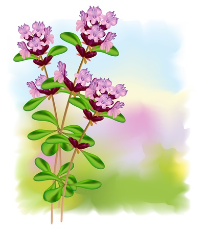thyme: Flowers thyme. Vector illustration.