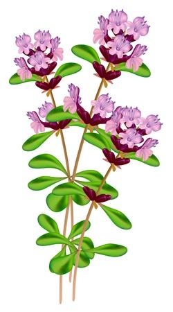 thymus: Flowering thyme. Vector illustration on white background.