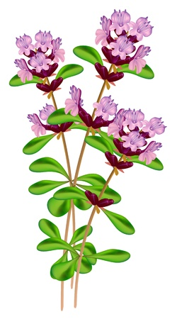 inflorescência: Flowering thyme. Vector illustration on white background.
