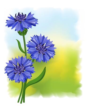 Bleuet des champs de fleurs bleu (Centaurea cyanus). Illustration vectorielle.