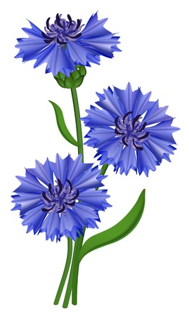 flowers close up: Flowers blue cornflower (Centaurea cyanus). Vector illustration.