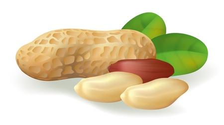 erdnuss: Erdnuss Fr�chte und Bl�tter. Abbildung auf wei�em Hintergrund.