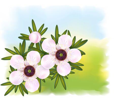 essential oil: Manuka or Tea tree or just Leptospermum. Flowers and leaf illustration.