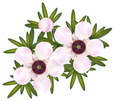 Manuka or Tea tree or just Leptospermum. Flowers and leaf illustration