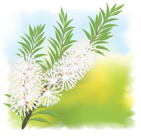 Tea tree: Melaleuca - tea tree.