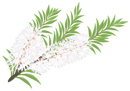Melaleuca - tea tree. Stock Vector - 10424078