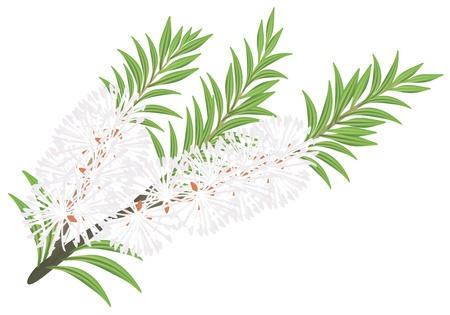 Melaleuca - tea tree.