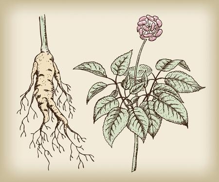 Ginseng (Panax), a medicinal plant. Root, stem, fruit. Vintage illustration.