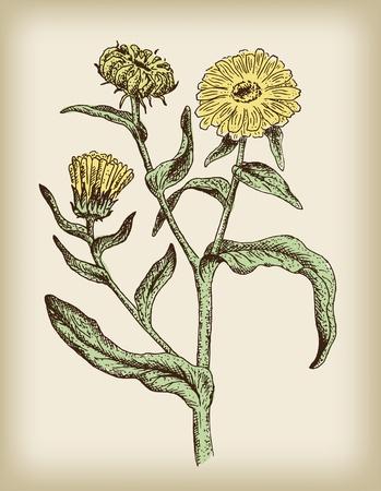 calendula: Calendula - medicinal plant. Vintage illustration.