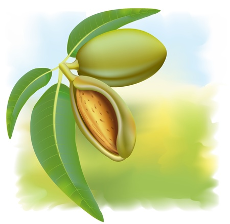 nut shell: Almonds. Branch with leaves and fruits.