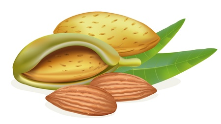 nut shell: Ripe almonds with leaves. Illustration