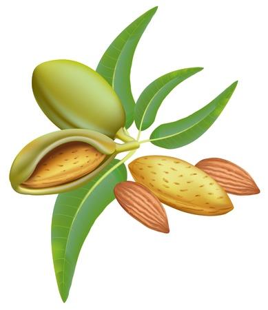 ядра: Миндаль. Ветка с листьями и плодами.