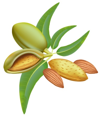frutas secas: Almendras. Rama con hojas y frutos.  Vectores