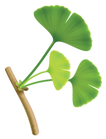 Twig with leaves of ginkgo biloba.