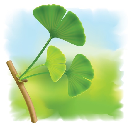 Twig with leaves of ginkgo biloba. Vector Illustration
