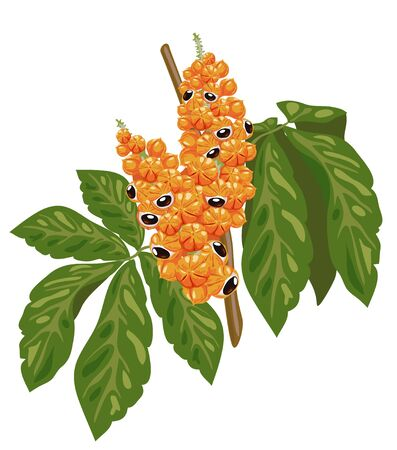vigor: Guarana branch with fruit and leaves.