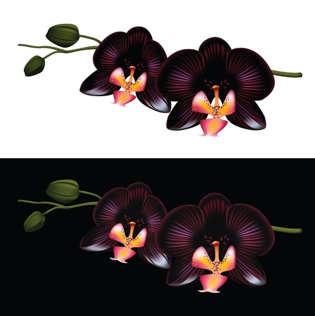 plant delicate: Black orchid isolated on a white and black background.