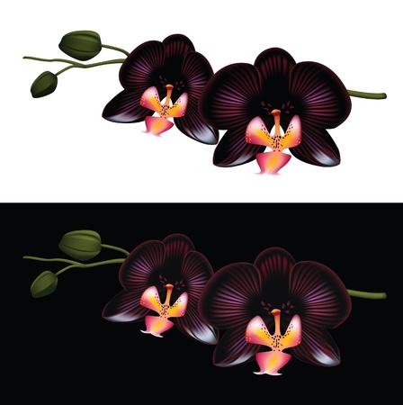 flores exoticas: Orquídea Negro aislado en un fondo blanco y negro.