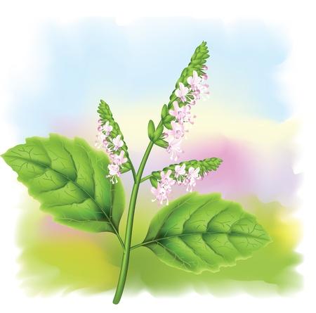 Plant patchouli (Pogostemon cablini). illustration on fullcolor background. Illustration