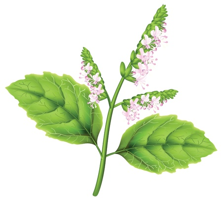 inflorescência: Plant patchouli (Pogostemon cablini). illustration on white background. Ilustra��o