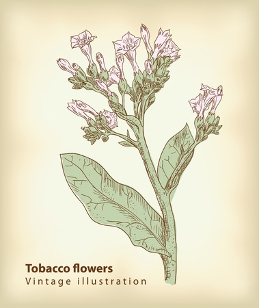 tobacco plants: Tobacco flowers.