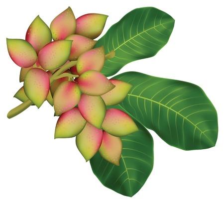 branch to grow up: Rama de un �rbol de pistacho con frutas y hojas. Ilustraci�n vectorial.