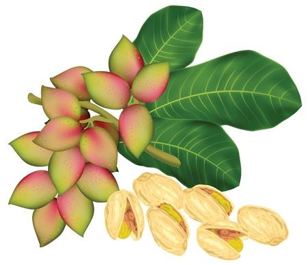 果物とピスタチオの小枝。ベクトル イラスト。