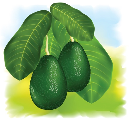 halved: Avocados on a branch with leaves. Vector illustration.