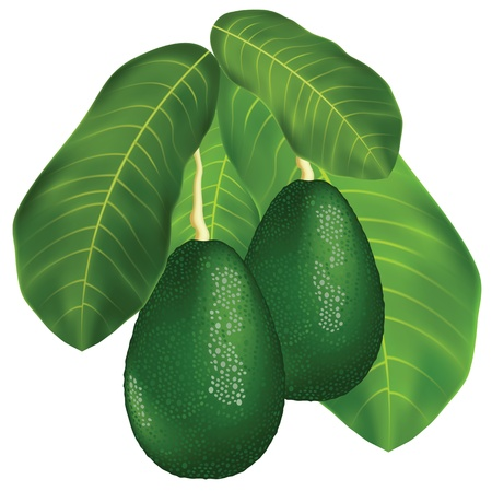 halved: Avocados on a branch with leaves. Isolated on white background.  Vector illustration.