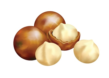 antioxidant:  Nuts of Macadamia. Vector illustration on a white background. Illustration