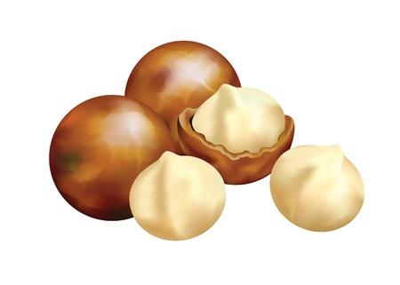 Von Macadamia Nüsse. Vektor-Illustration auf weißem Hintergrund.