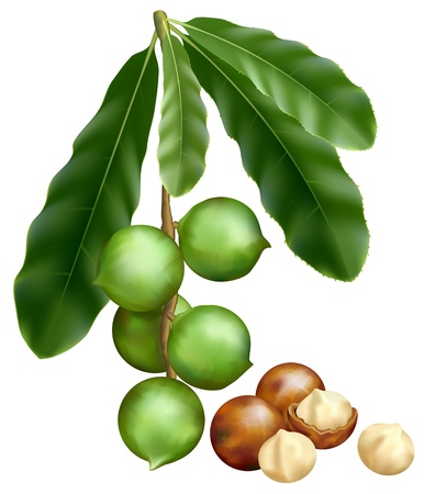 antioxidant: Leaves and fruits of Macadamia. Vector illustration on a white background.