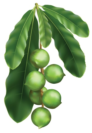 tree nuts: Leaves and fruits of Macadamia. Vector illustration on a white background.