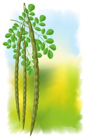 oleifera: Moringa ole�fera. Ilustraci�n vectorial sobre fondo fullcolor. Vectores