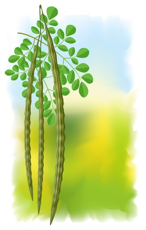 moringa: Moringa oleifera. Vector illustration on fullcolor background.