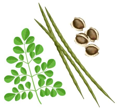leaf close up: Moringa oleifera. Vector illustration on white background.