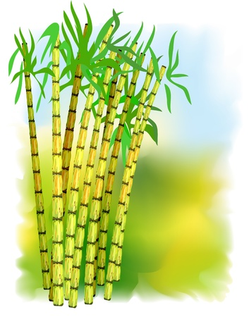 cane: Plant of sugar cane. Vector illustration.