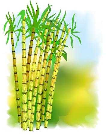 cultivating: Planta de ca�a de az�car. Ilustraci�n vectorial. Vectores