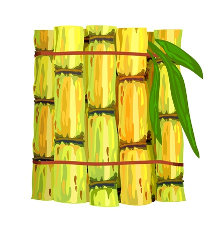 raw food: Stalks of sugar cane. Vector illustration on  white background.
